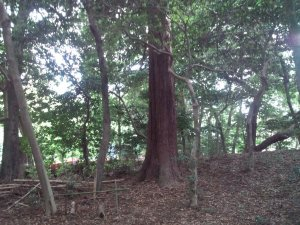 山王神社 巨木1