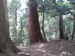 山王神社 巨木2