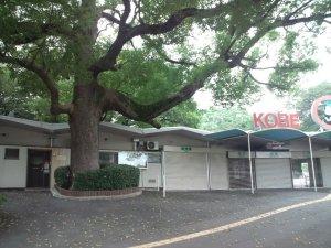 王子動物園前のクスノキの巨木