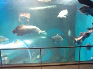神戸市立須磨海浜水族園のアマゾン館 ピラルク