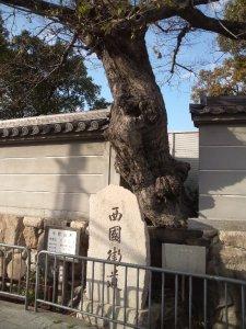 本住吉神社のムクノキ