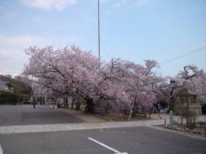 神戸護国神社の桜
