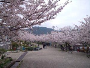 都賀川 桜並木