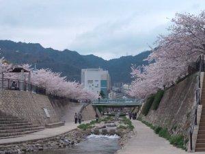 都賀川の桜が満開