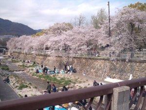 都賀川公園近くの桜