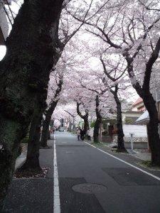 ここは神戸市灘区高尾通 桜のトンネル