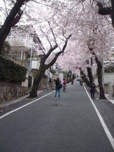 神戸 桜のトンネル