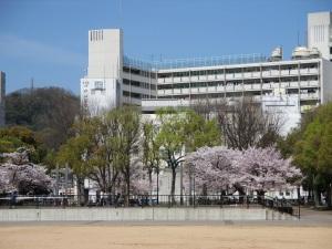 湊川公園 桜