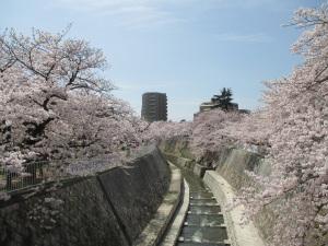 妙法寺川の桜 1