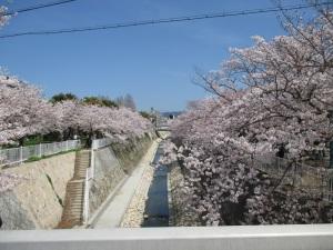 妙法寺川の桜 2