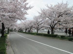 妙法寺川の桜 3
