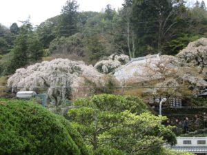 高台から善福寺の糸桜を見る