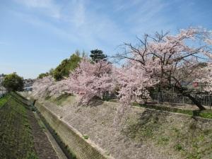 雪御所公園の桜