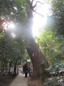 生田の森 一番の巨木です。