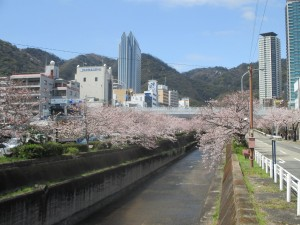 生田川の桜 1