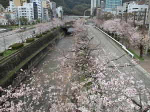 生田川の桜 2