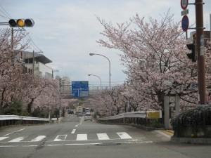 生田川の桜 3