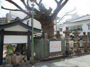 二宮神社 御神木3