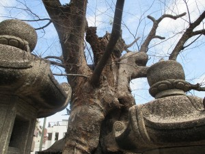 二宮神社 御神木6