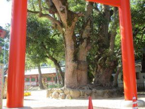 長田神社のクスノキ