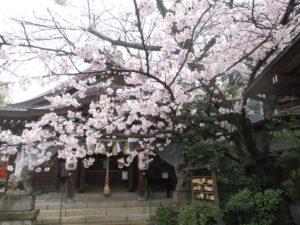 一宮神社 桜