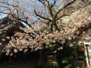 神戸一宮神社 社殿の前の桜