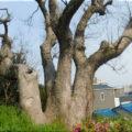 氷室公園 クスノキの巨木を発見!