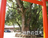 神戸の巨木
